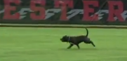 Pitbull on Softball Field