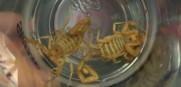 White Sox scorpions